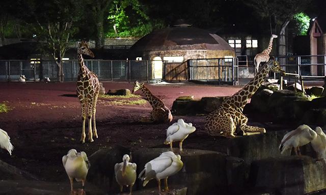 夜のサバンナの様子/多摩動物公園(東京都/日野市)