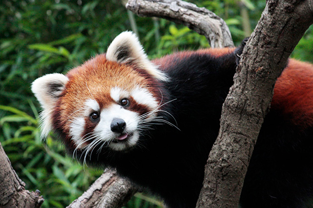 レッサーパンダ/江戸川区自然動物園(東京都)