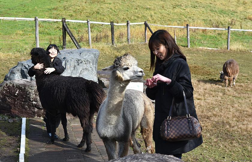 牧場でのびのびと暮らすアルパカ/ビバアルパカ牧場(北海道/剣淵町)