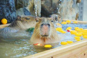 カピバラとふれあい&カピバラ温泉がある関東の動物園12選!なぜお風呂好き?
