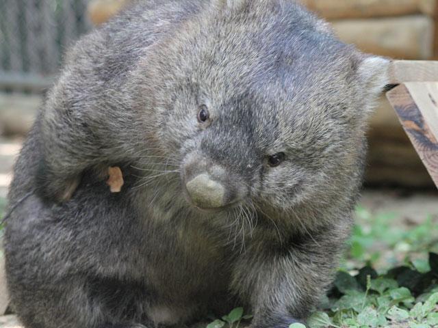 五月山動物園の珍獣ウォンバット