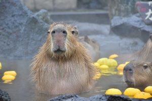 カピバラとふれあい&カピバラ温泉がある全国の動物園44選!元祖カピバラ風呂は?