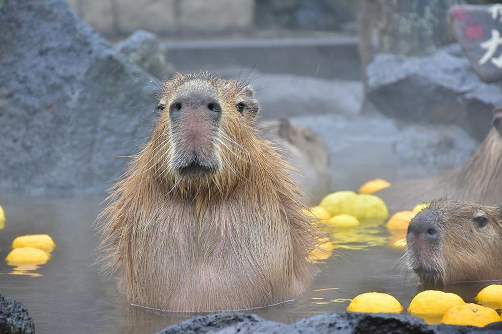 露天風呂に入るカピバラ/伊豆シャボテン動物公園(静岡県/伊東市)