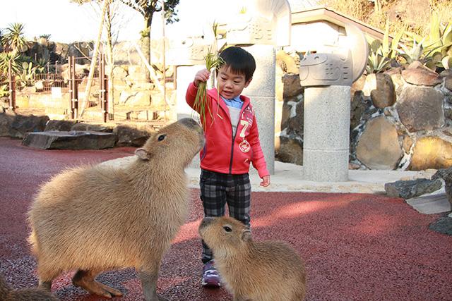 エサやり体験でカピバラにエサをあげる子ども/伊豆シャボテン動物公園(静岡県/伊東市)