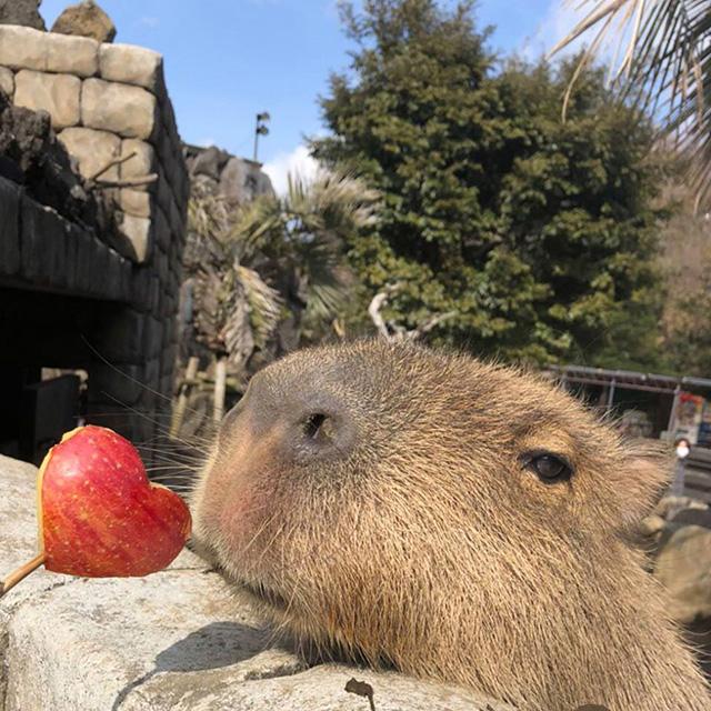 ハートのリンゴとカピバラ/伊豆シャボテン動物公園(静岡県/伊東市)