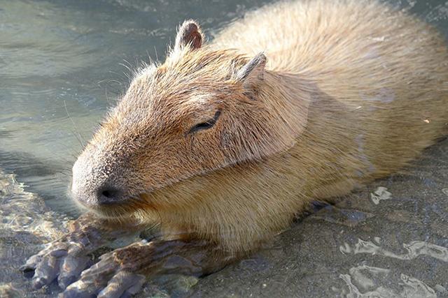 水辺で寝ているカピバラ/豊橋総合動植物公園 のんほいパーク(愛知県/豊橋市)