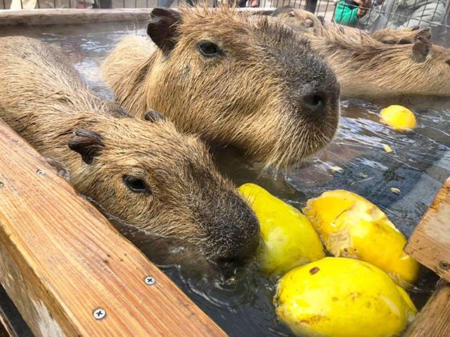 かりん湯に浸かるカピバラ/須坂市動物園(長野県)
