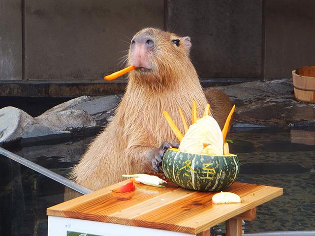 エサを食べるカピバラ/いしかわ動物園(石川県/能美市)