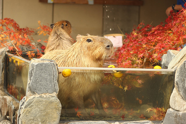 露天風呂に浸かるカピバラ/いしかわ動物園(石川県/能美市)