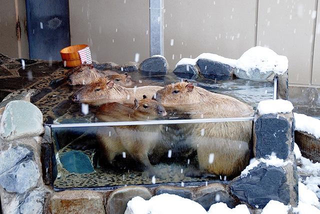 露天風呂に浸かるカピバラたち/いしかわ動物園(石川県/能美市)