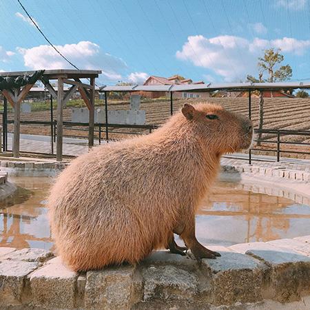 池の畔にたたずむカピバラ/堺・緑のミュージアム ハーベストの丘(大阪府/堺市)