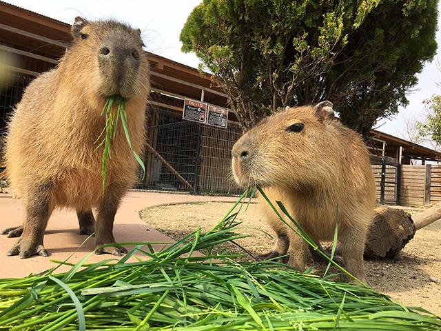エサを食べるカピバラ/赤穂海浜公園 動物ふれあい村(兵庫県)