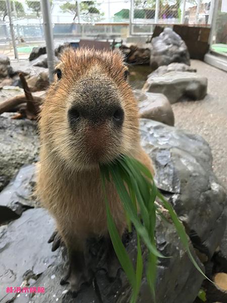 草を食べるカピバラ/桂浜水族館(高知県/高知市)