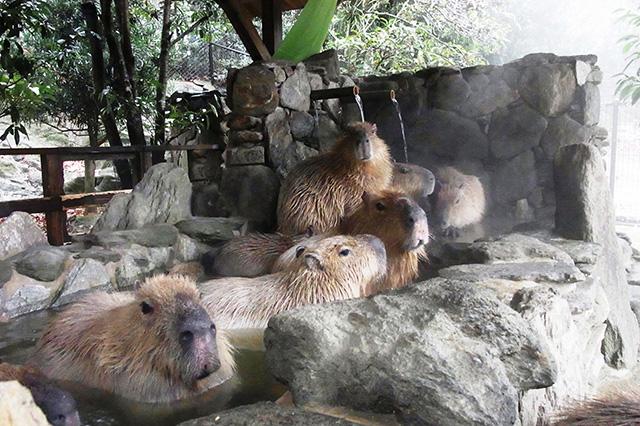 露天風呂につかるカピバラ/長崎バイオパーク(長崎県/西海市)