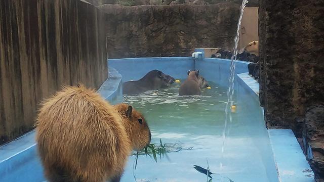 カピバラとブラジルバク/平川動物公園(鹿児島県/鹿児島市)