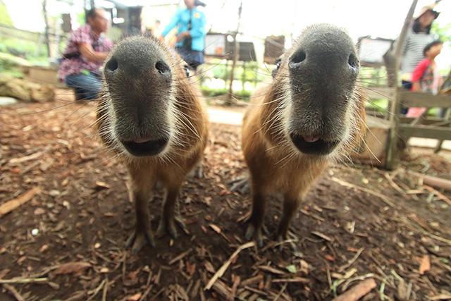 カピバラの鼻と口のアップ/東南植物楽園(沖縄県/沖縄市)