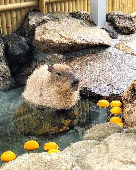 岩風呂につかるカピバラ/池田動物園(岡山県/岡山市)