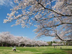 子ども連れでお花見散歩!関東のおすすめ桜スポット&大型公園20選【コロナ対策】