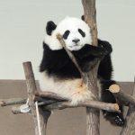 人気動物の動画サイト!ジャイアントパンダのおすすめ動画3選【休校・コロナ対策】