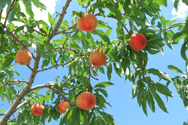 桃狩りのイメージ