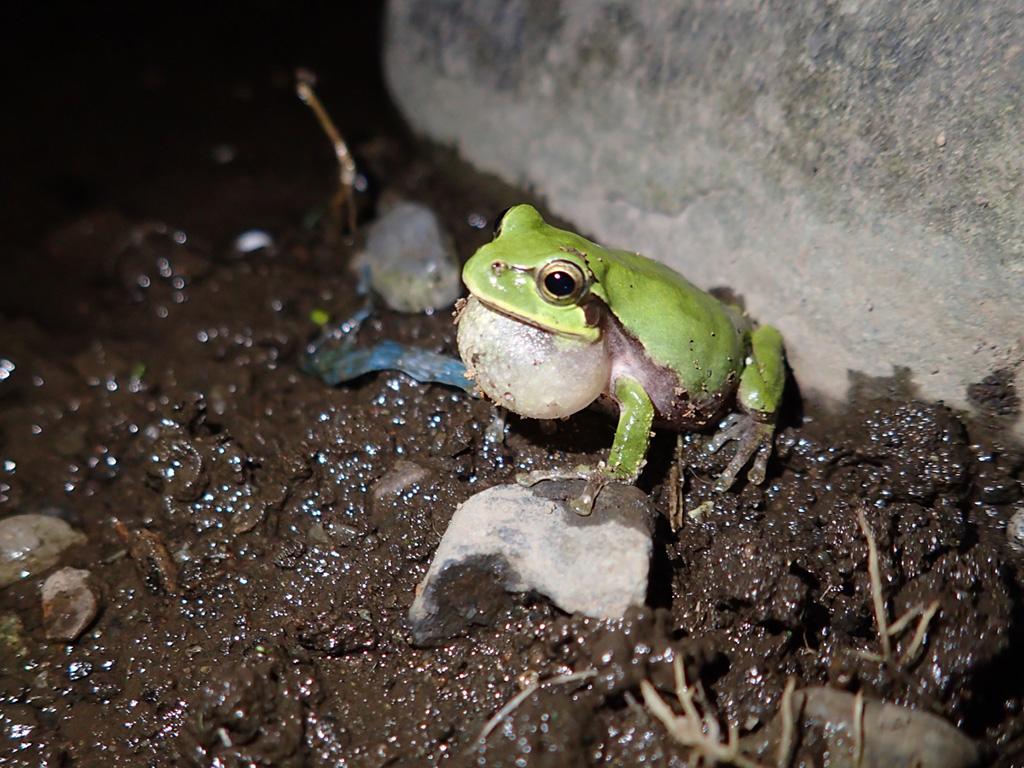 夜の散歩で見つけたカエル/教えて!ネイチャー先生