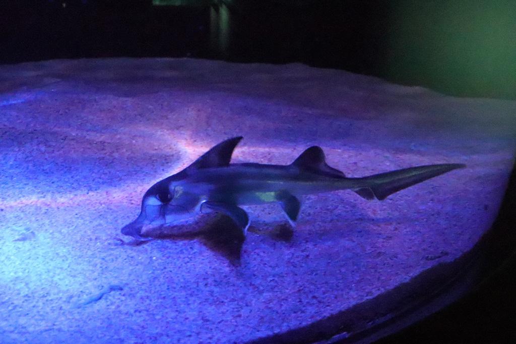 サンシャイン水族館のゾウギンザメの赤ちゃん(東京都/豊島区)