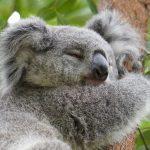 コアラがいる動物園は7つ!赤ちゃんと約50頭の最新情報!性格や睡眠時間など生態も