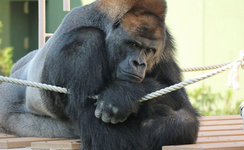 ゴリラがいる動物園は6つ!誰がイケメン?平和主義で繊細な性格や寿命 ...