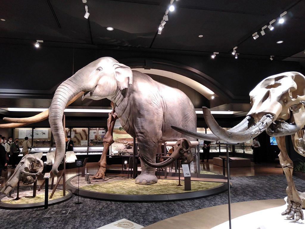 ツダンスキーゾウの半身半骨展示/滋賀県立琵琶湖博物館(滋賀県/草津市)