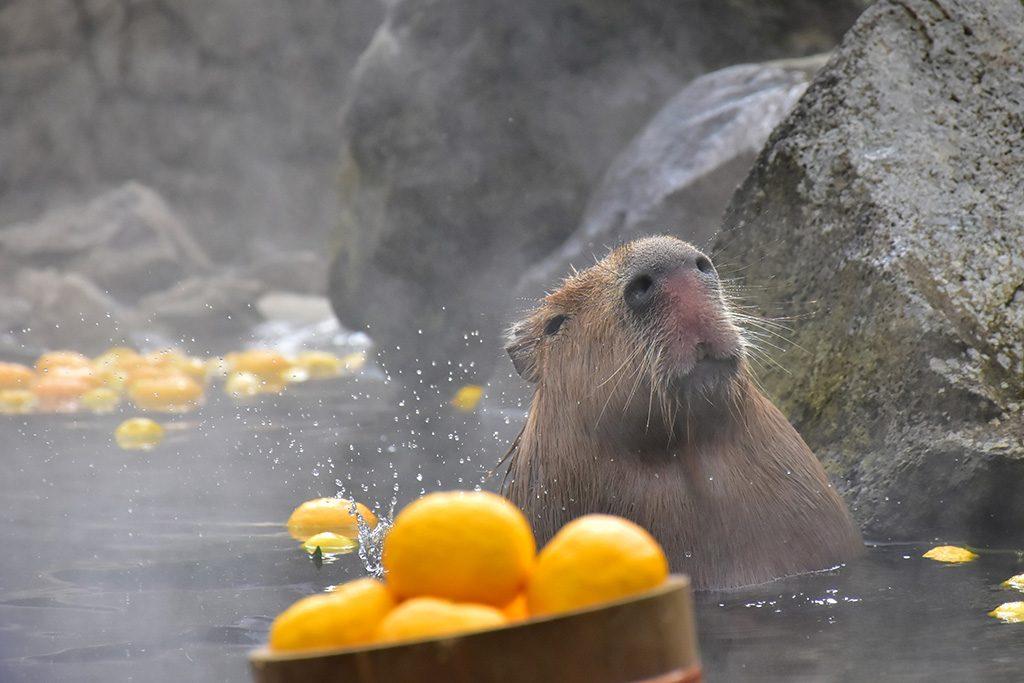 温泉に入るカピバラ/伊豆シャボテン動物公園(静岡県/伊東市)