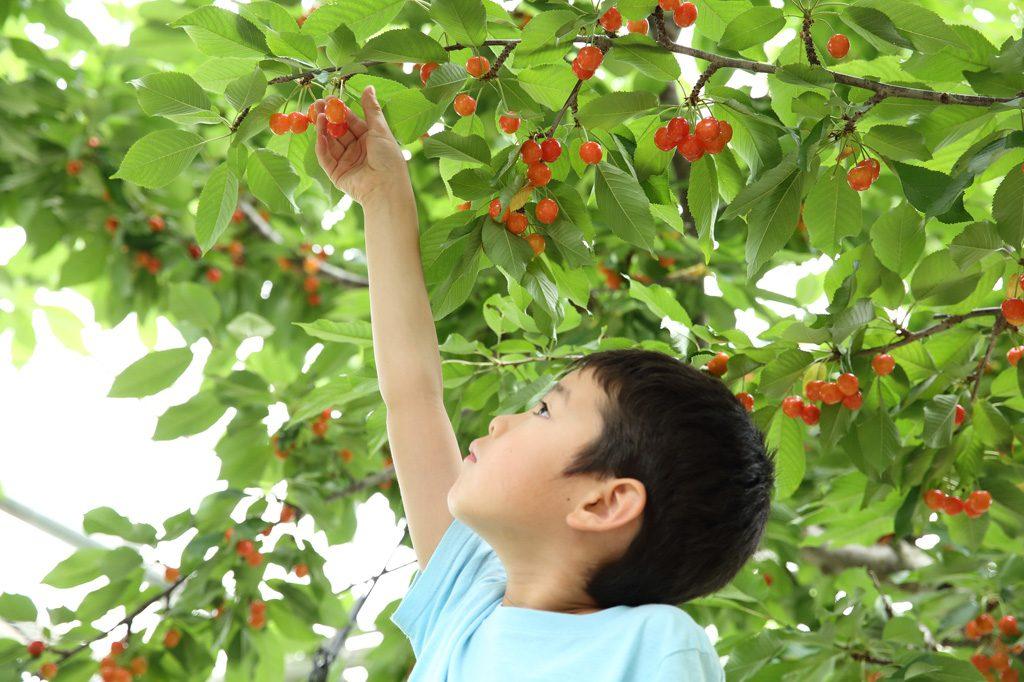 滋賀・京都の夏の味覚&果物狩り(2021)さくらんぼ狩り・ブルーベリー狩りなど