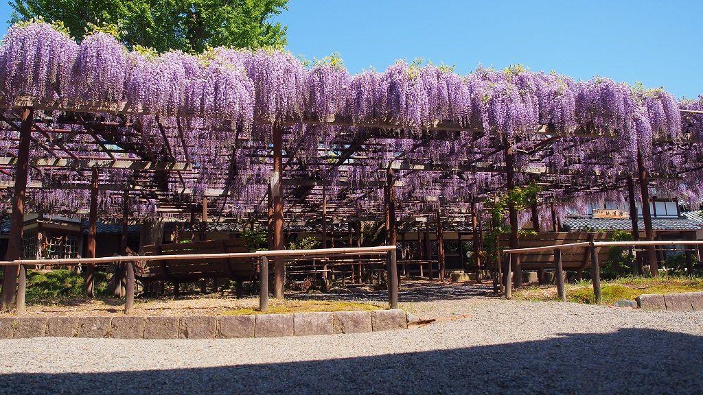 子どもと行きたい関東甲信越の花の絶景スポット。樹齢1200年の藤棚など必見!