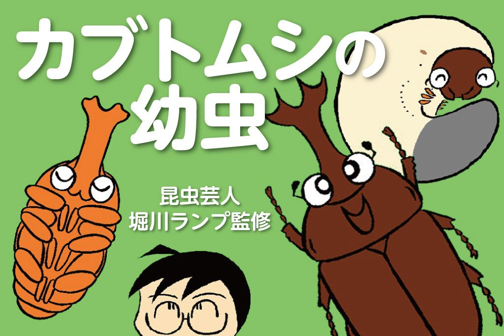カブトムシの幼虫/昆虫芸人 堀川ランプ監修