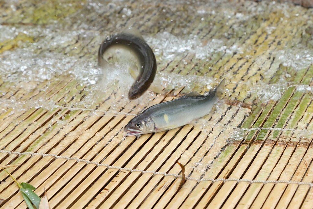 東海の魚つかみ取り体験スポット。初心者も安心な「やな」や池で子どもも楽しめる