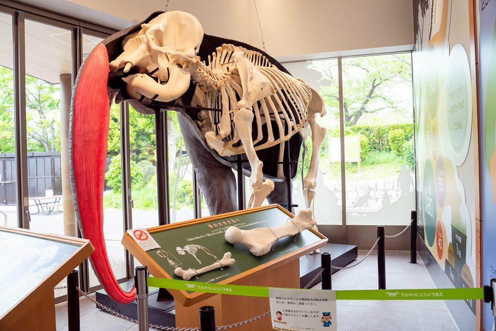 ゾウの全身骨格標本/天王寺動物園(大阪府/大阪市)