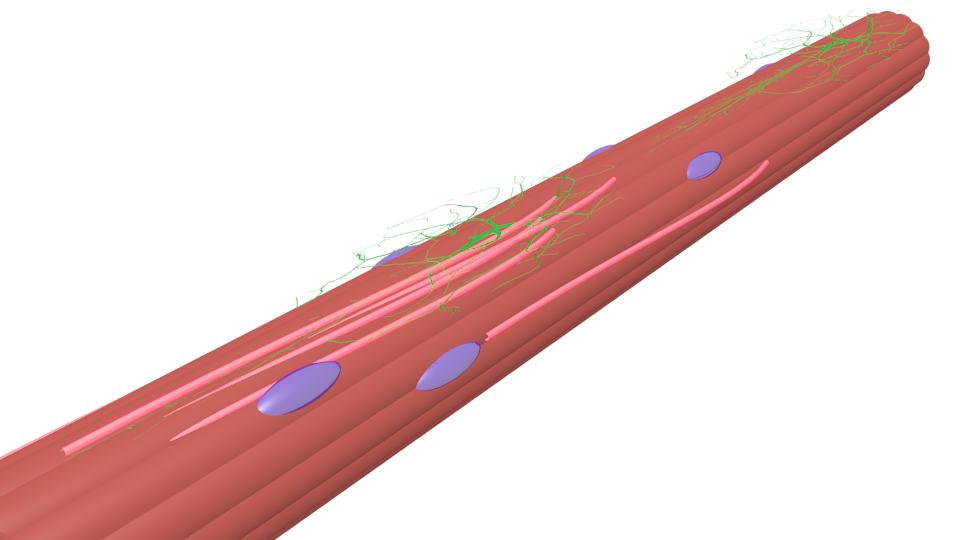 筋繊維+神経+血管