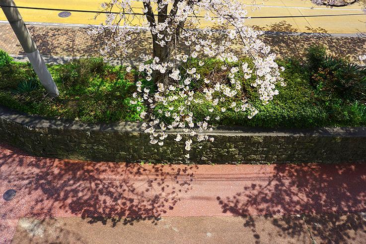 リビングから。桜に癒されます。