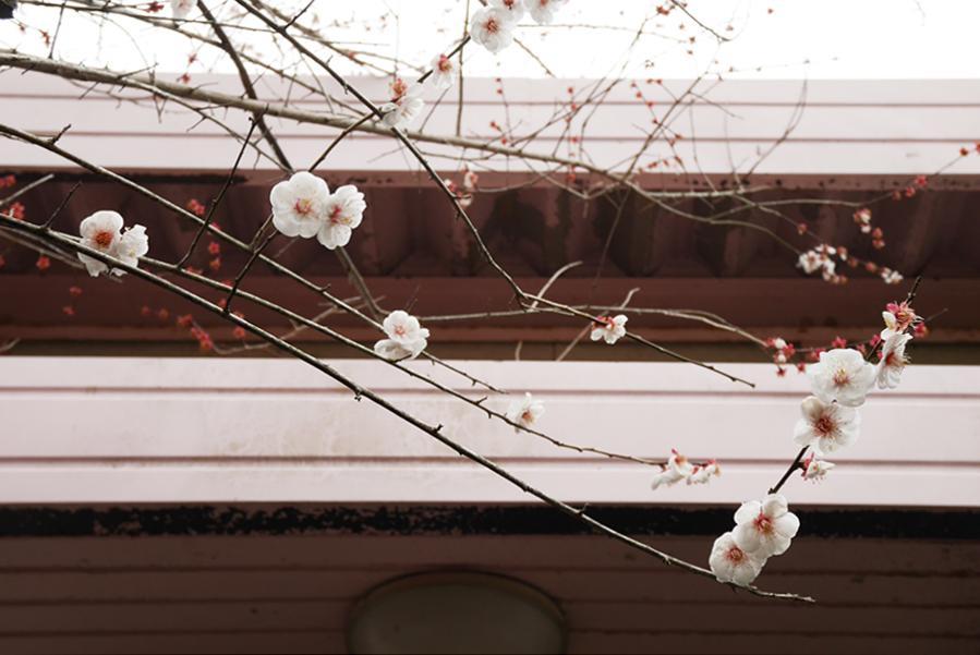 玄関前には梅の木。建物とのコントラストが綺麗。