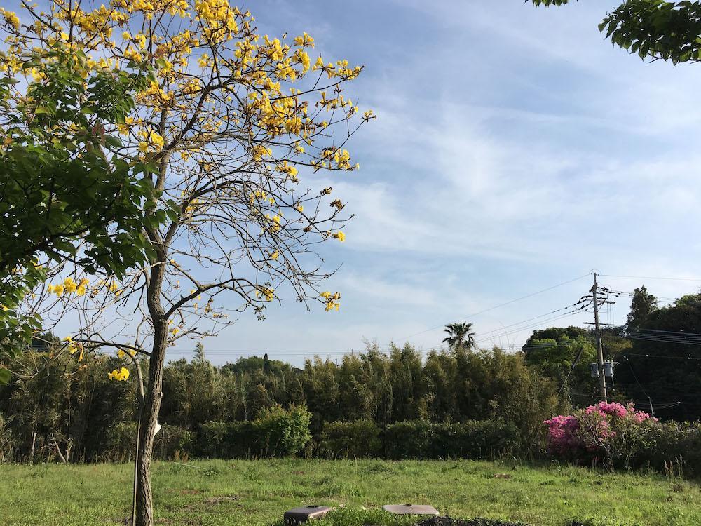 イジュの花咲く南の畑