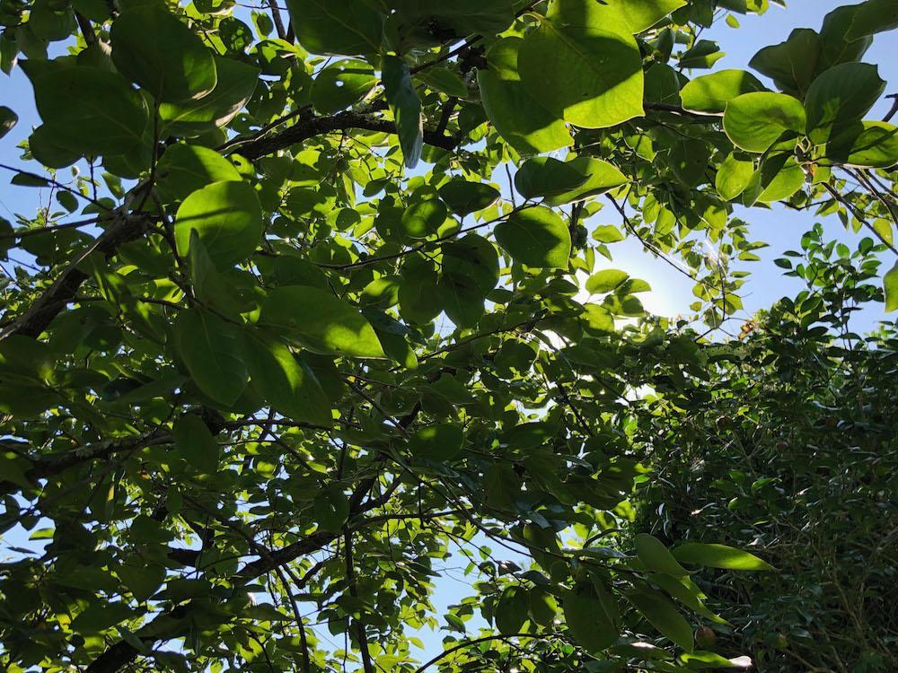 柿の木の木漏れ日。ここは涼しい。