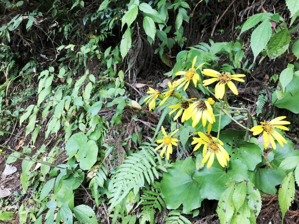 庭や山への坂道には石蕗、野菊、水仙…