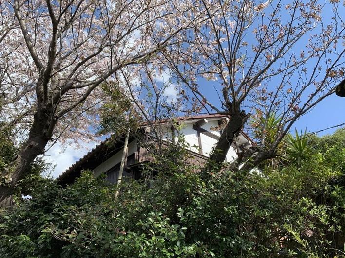 下から見上げると桜の木の間に見える