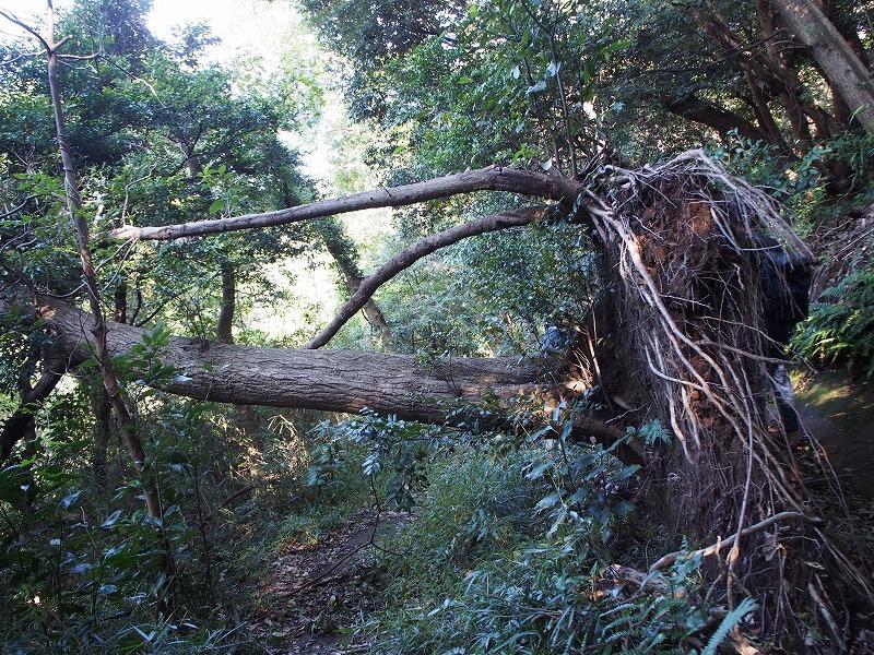 ダイナミックな倒木