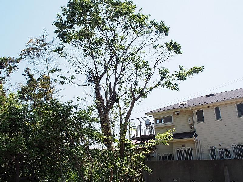 大きい木です。物件に良い感じの木陰を作っています。