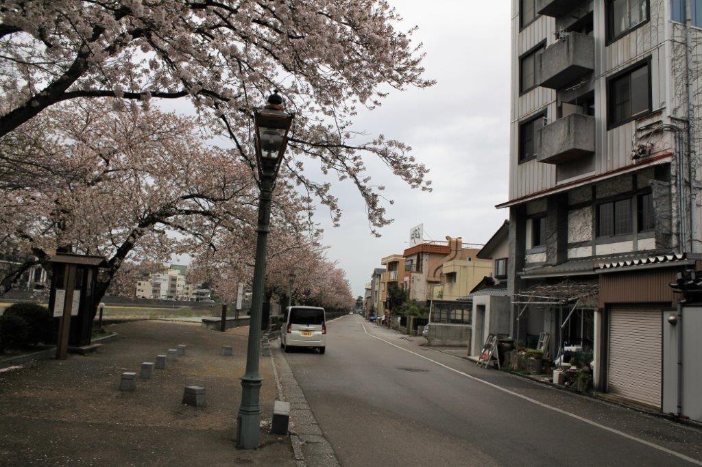 前面道路。「犀星のみち」の桜並木が綺麗です