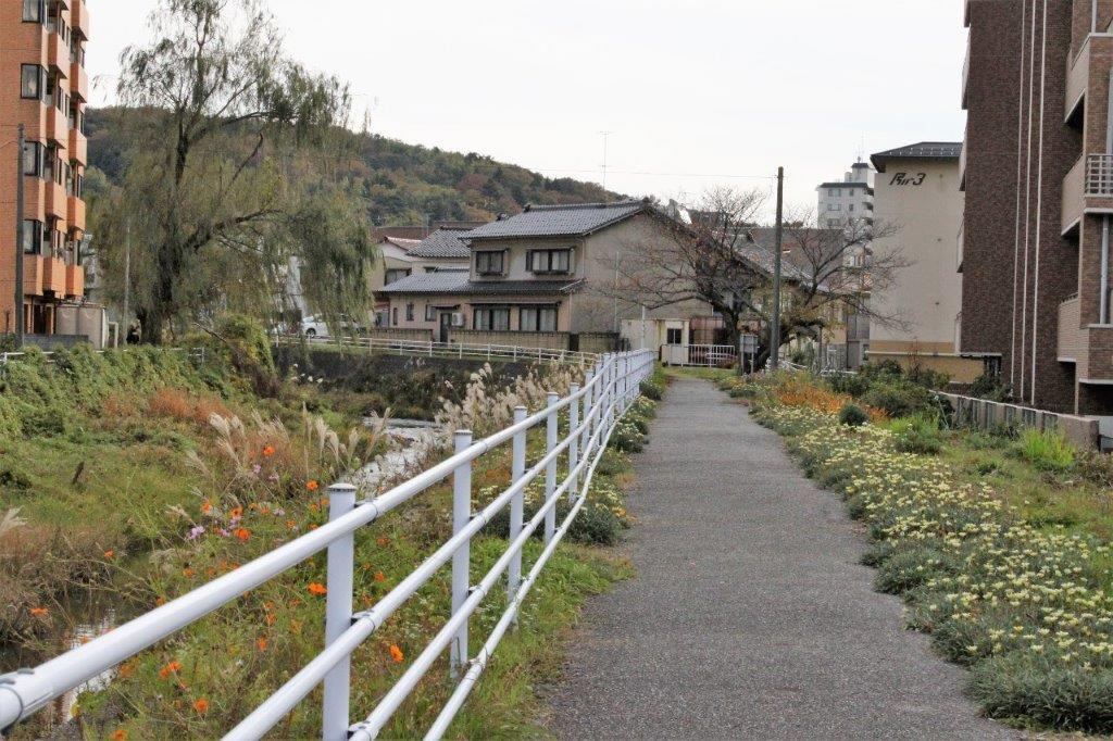 金腐川の土手沿いにはコスモス。