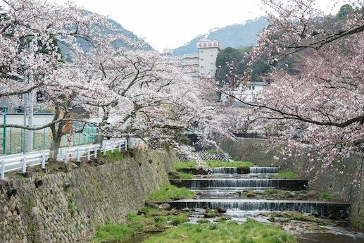 春には家の目の前に桜並木が現れる