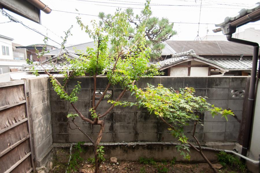坪庭の緑。お向かいの松の木も借景に