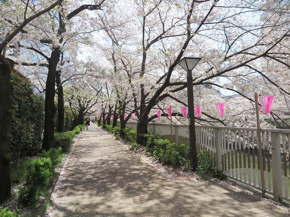 春の目黒川沿いはこんな雰囲気