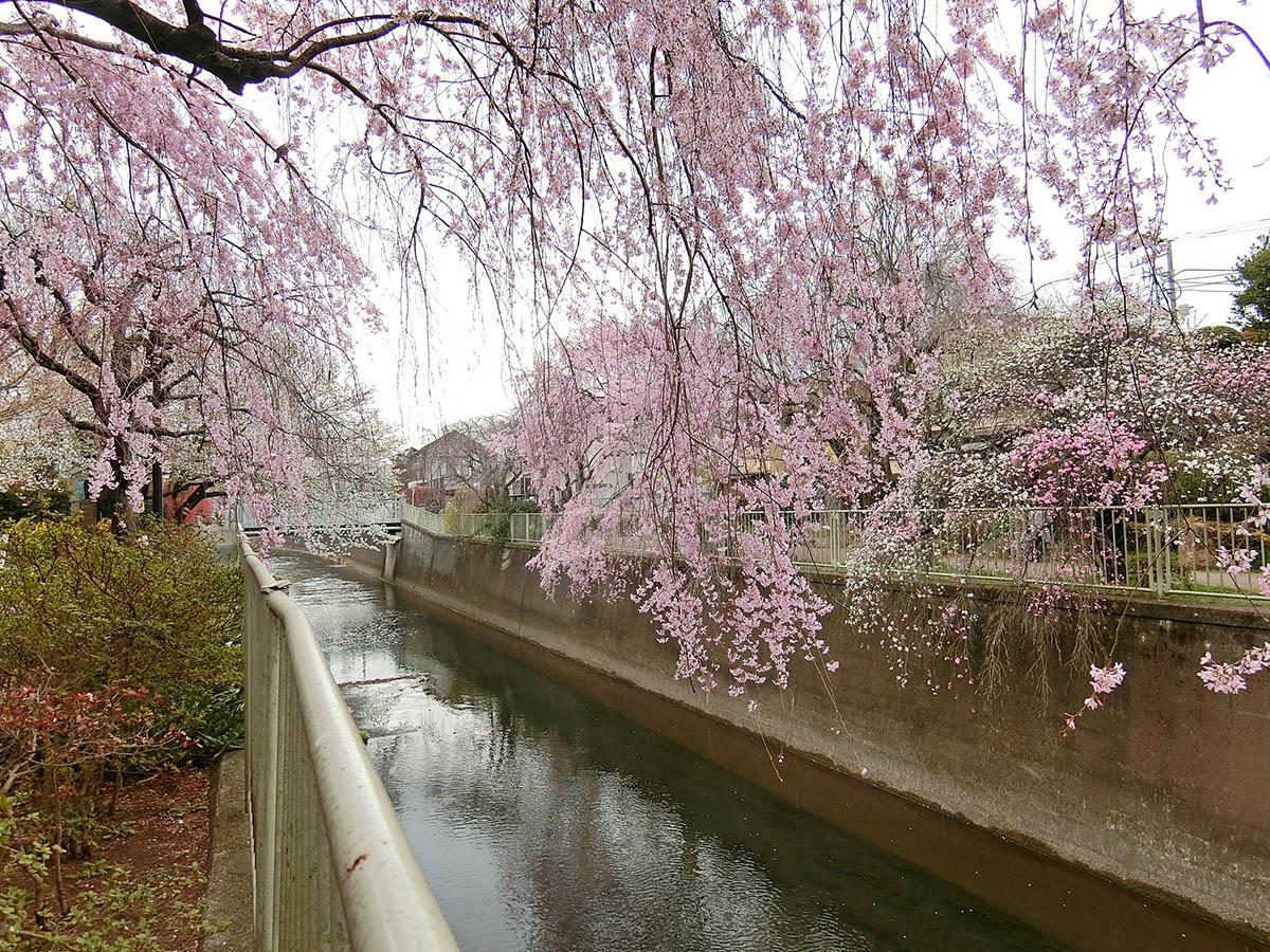 近くの神田川。緑が多い周辺環境